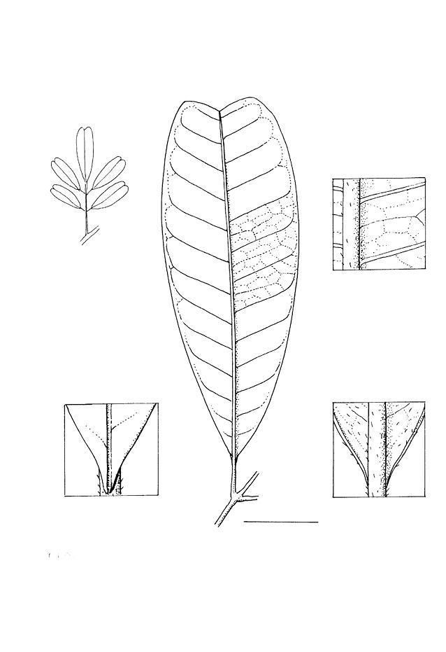 line image of Trichilia retusa