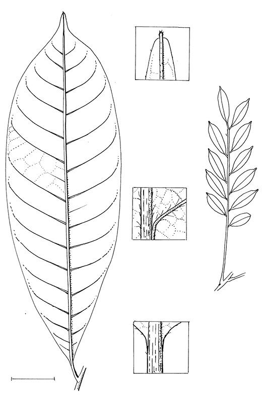line image of Trichilia welwitschii