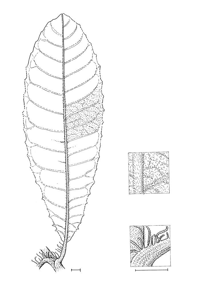 line image of Vernonia titanophylla
