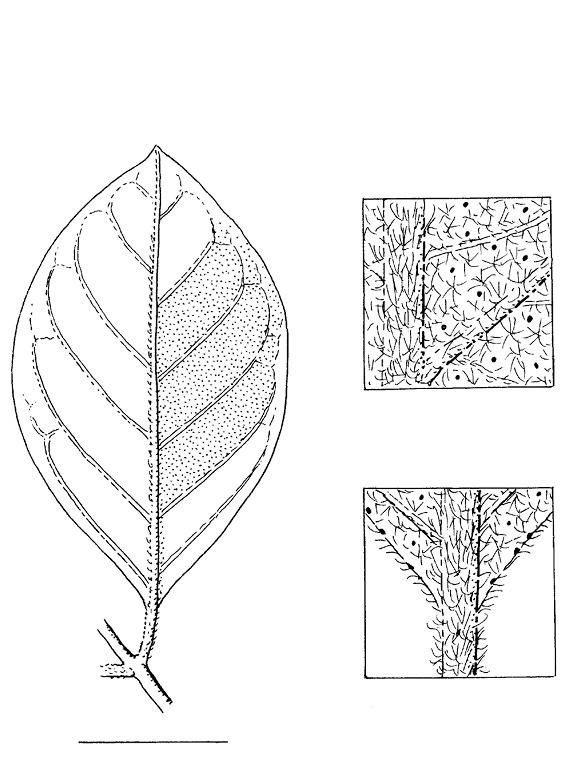 line image of Vismia laurentii