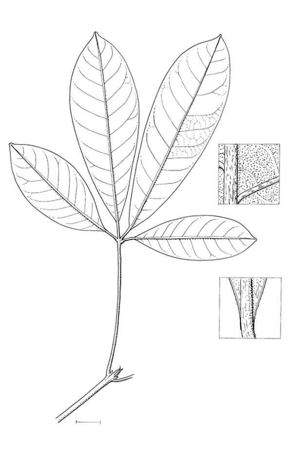 line image of Vitex doniana