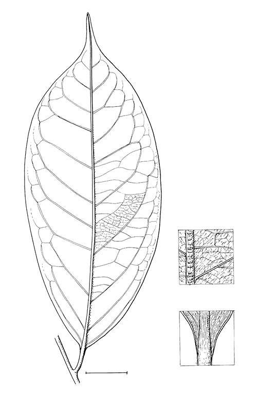 line image of Xylopia aethiopica