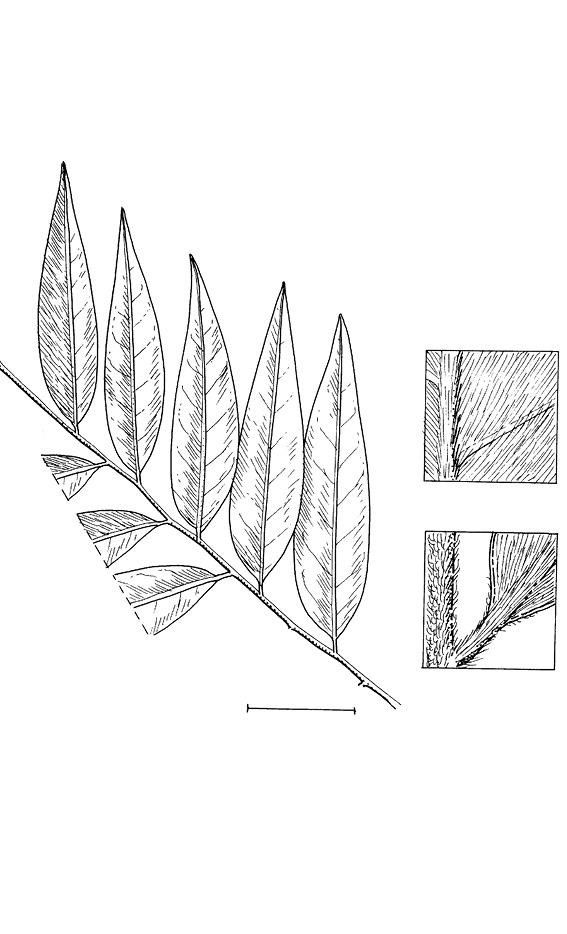 line image of Xylopia hypolampra