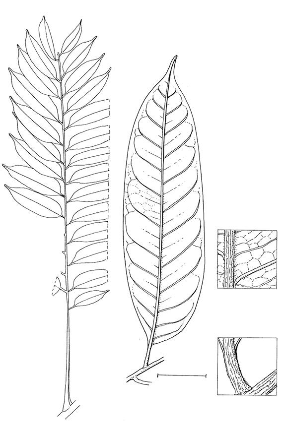 line image of Zanthoxylum tessmannii
