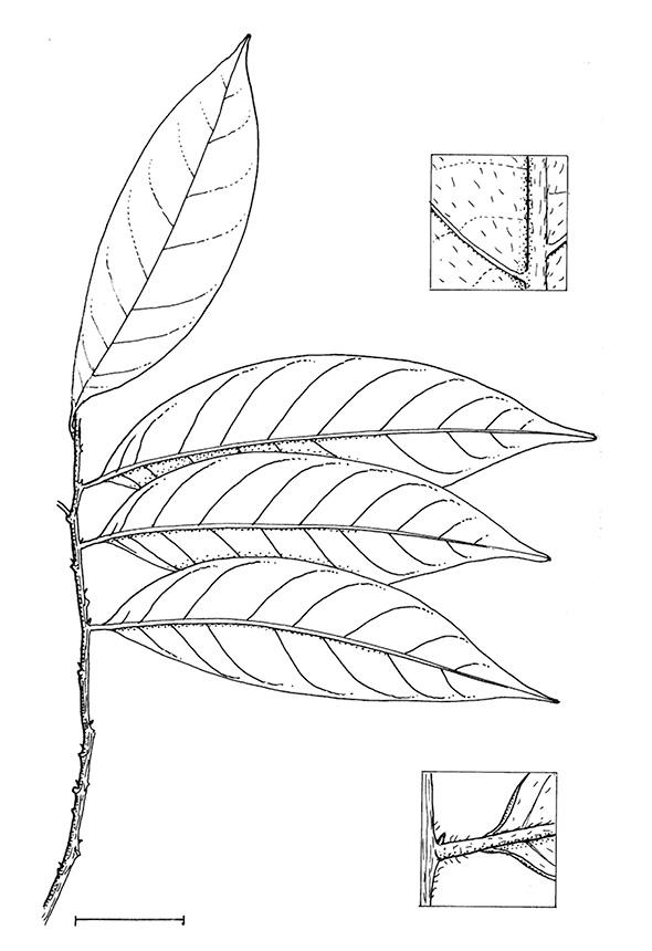 line image of Greenwayodendron suaveolens